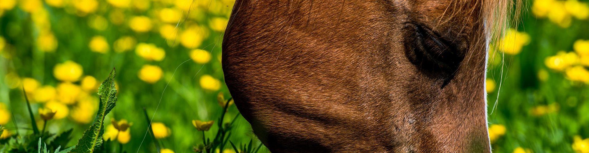 Paard_neus_bloemen_grazen